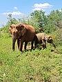 An Elephant Mother and their Calf.jpg