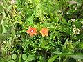 Anagallis arvensis (Flower)