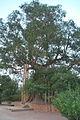 Anandabodhi Tree.JPG