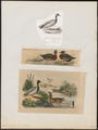 Anas boschas - 1700-1880 - Print - Iconographia Zoologica - Special Collections University of Amsterdam - UBA01 IZ17600365.tif