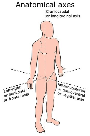 Anatomical terms of location - Anatomical axes in bipedal vertebrates