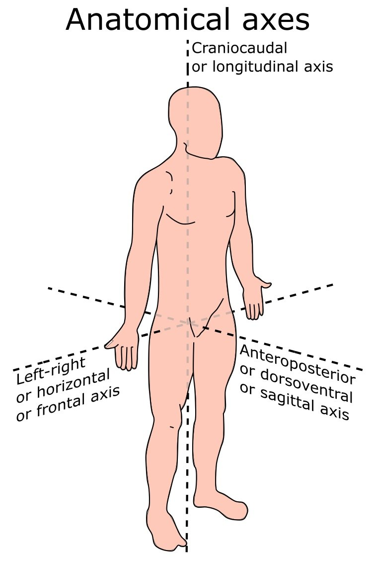 Anatomical terms of location - Howling Pixel
