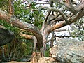 Ancient Cedar on Panola Mtn. ~ GUIDED HIKES ONLY - panoramio.jpg