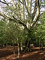 Ancient beech pollard in Queen North Wood, New Forest - geograph.org.uk - 123500.jpg