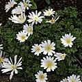 Anemone blanda 'White Splendour' at RHS Garden Hyde Hall, Essex, England 01.jpg