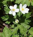 Anemone flaccida (3 flowers s2).JPG