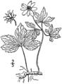 Anemone quinquefolia BB-1913.png