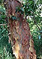 Angophora costata - shedding trunk bark.jpg