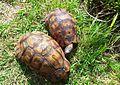 Angulate tortoise males - Chersina angulata - Cape Town.jpg