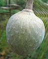 Annona reticulata.jpg