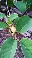 Annona senegalensis00.jpg