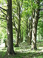 Another Sycamore Lined Walkway - geograph.org.uk - 176797.jpg