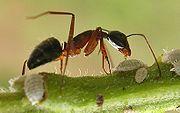 Camponotus compressus tending soft scales