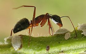 Ant tending scales3.jpg
