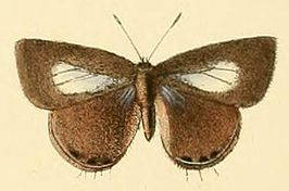 Anthene lycaenoides.JPG