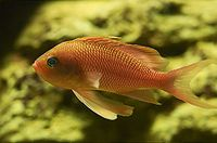 Anthias anthias 02.jpg