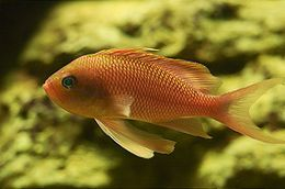 Anthias anthias 02