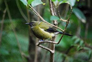 New Zealand bellbird - Image: Anthornis melanura 2