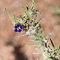Anticharis scoparia-5059 - Flickr - Ragnhild & Neil Crawford.jpg