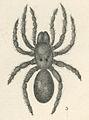Antrodiaetus unicolor (Hentz, 1842).jpg