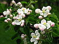 Apple blossom (Malus domestica) 03.JPG