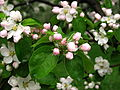 Apple blossom (Malus domestica) 08.JPG