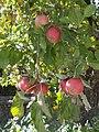 Apple tree, 2019 Tapolca.jpg