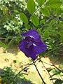 Aprajita flower.jpg