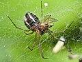 Araña en Bastavales. 2010-06-19 b.jpg
