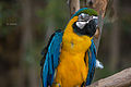 Ara ararauna -Jacksonville Zoo -eyes closed-8a.jpg