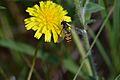 Araignées, insectes et fleurs de la forêt de Moulière (Les Agobis) (29018398915).jpg