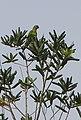 Aratinga aurea on Vochysia lucida - Flickr - Alex Popovkin, Bahia, Brazil.jpg