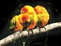 Aratinga solstitialis (trio).jpg