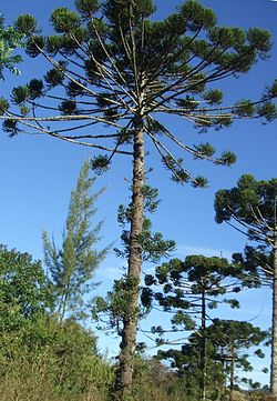 meaning of araucaria