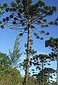 Araucaria angustifolia MariadaFe Brazil.jpg