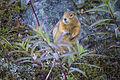 Arctic Ground Squirrel (3) - Spermophilus parryii (21294826960).jpg
