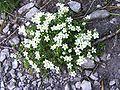 Arenaria ciliata a2.jpg