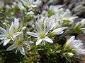 Arenaria hookeri (23104829203).jpg