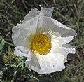 Argemone polyanthemos (white prickly poppy) (Castle Rock chalk badlands area, south of Quinter, Kansas, USA) 5 (19877931316).jpg