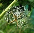 Argiope argentata (Araneidae) - Flickr - gailhampshire (2).jpg