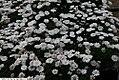 Argyranthemum Madeira Madelana Double Blush 2zz.jpg