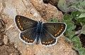 Aricia artaxerxes - Çokgözlü orman esmeri 03.jpg