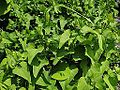 Aristolochia clematitis OB10.jpg