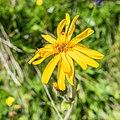 Arnica montana in Morzine (1).jpg
