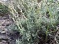 Artemisia pedatifida — Matt Lavin 012.jpg