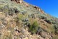 Artemisia tridentata kz04.jpg