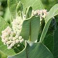 Asclepias syriaca - common milkweed 0120.jpg