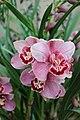 Asparagales - Cymbidium 'Loch Heilen' Hamsey - 2.jpg