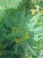 Astragalus macrocarpus in Nahal Tut (2).jpg