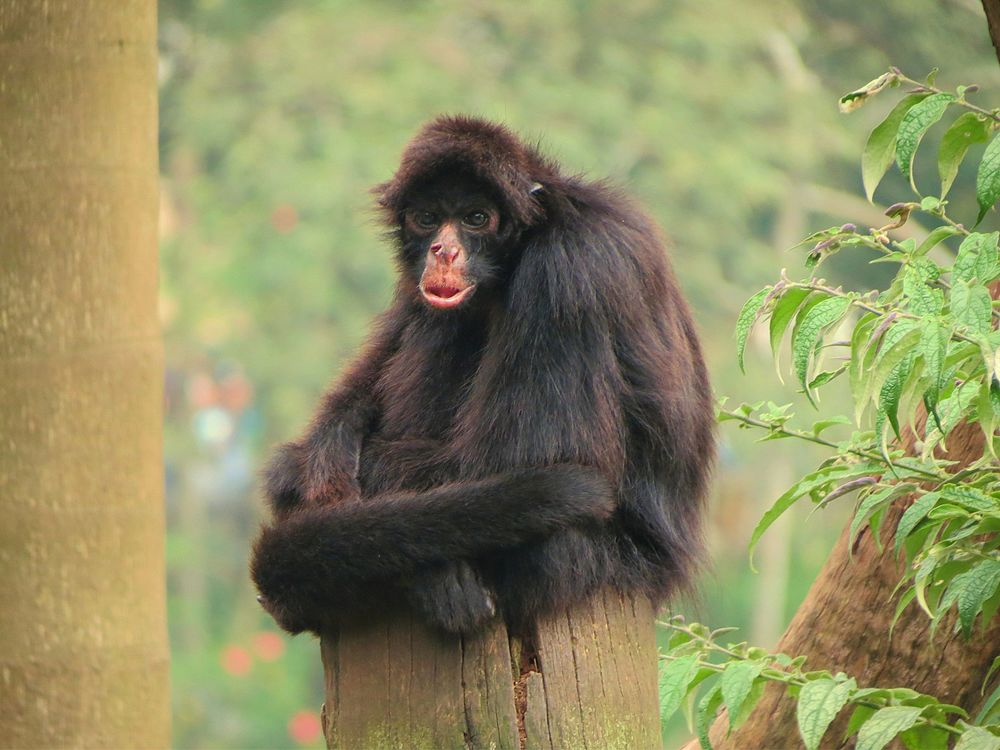 The average adult size of a Peruvian spider monkey is  (1' 6